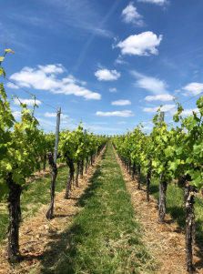 vineyard Germany